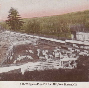 Pigs on Pinball Hill postcard
